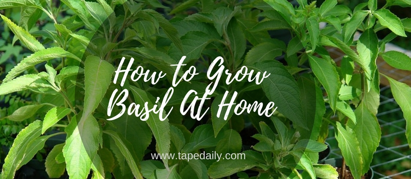 How to Grow Basil At Home