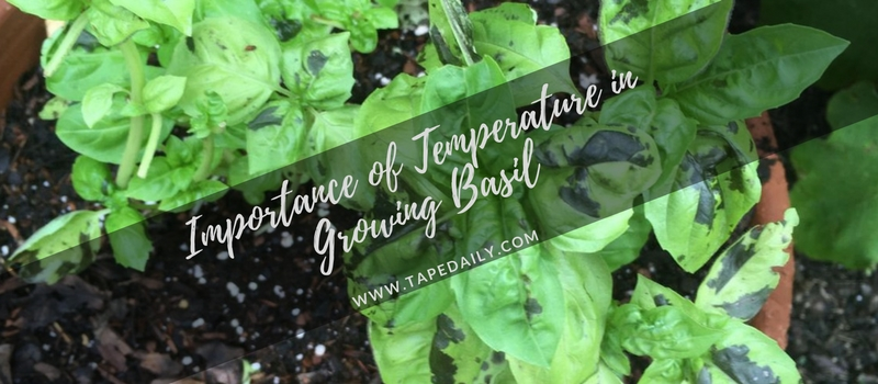 Importance of Temperature in Growing Basil