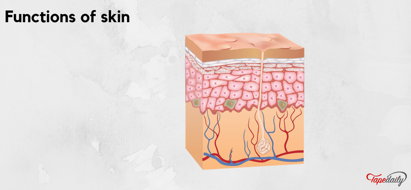 Exploring the functions of skin