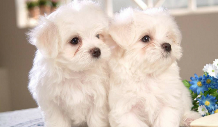 How Many Puppies Can a Maltese Dog Have?
