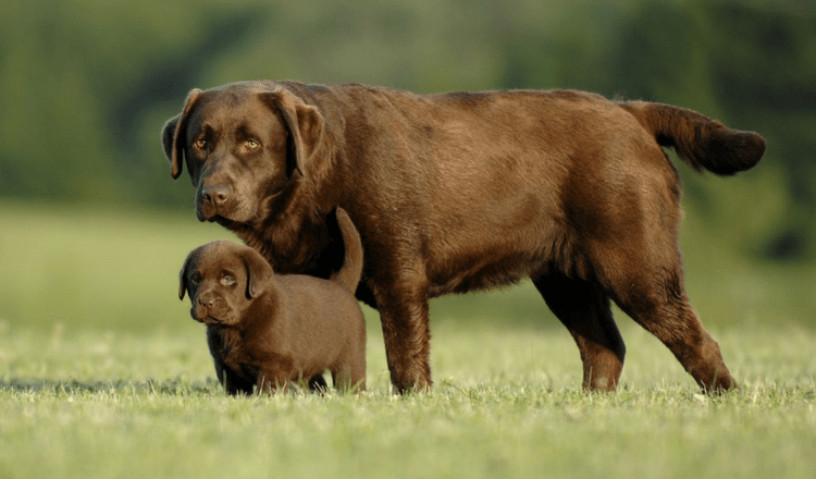 How Many Puppies Can a Labrador Have?