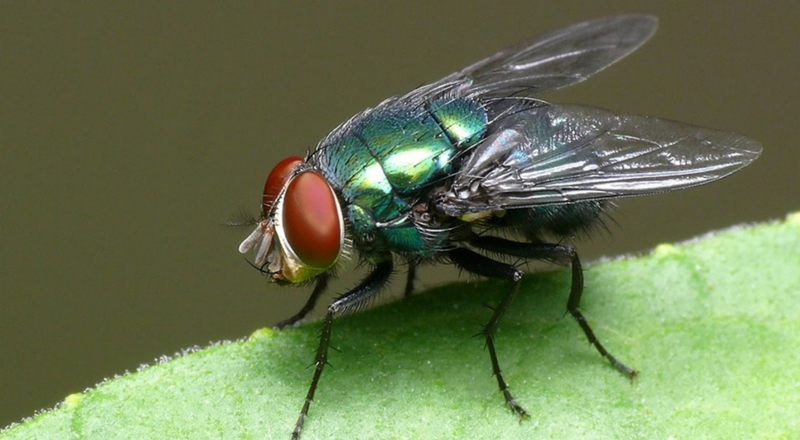 What does Dreaming about Flies Mean?