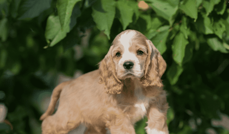 How Much Should My Cocker Spaniel Eat?