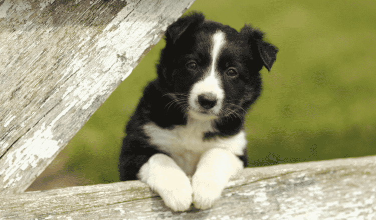 How to look after a Border Collie?