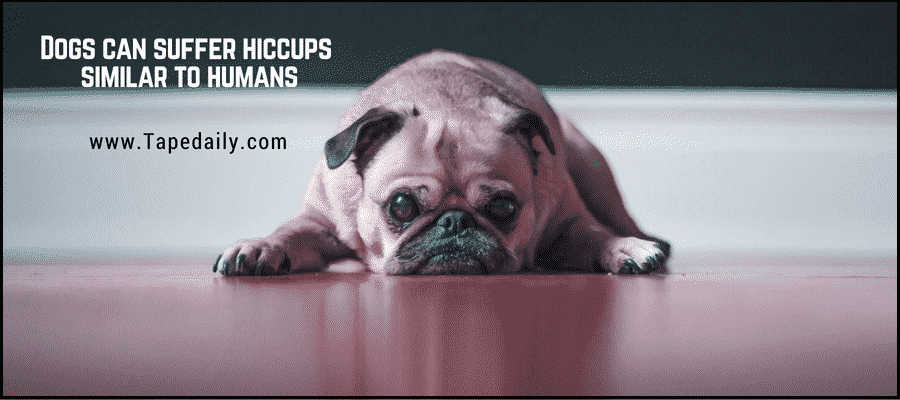 Dogs Hiccups