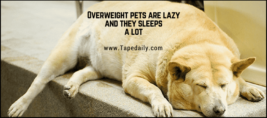 Overweight pets are lazy