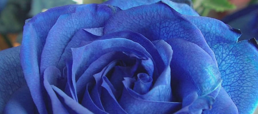 How To Create Natural Blue Roses?