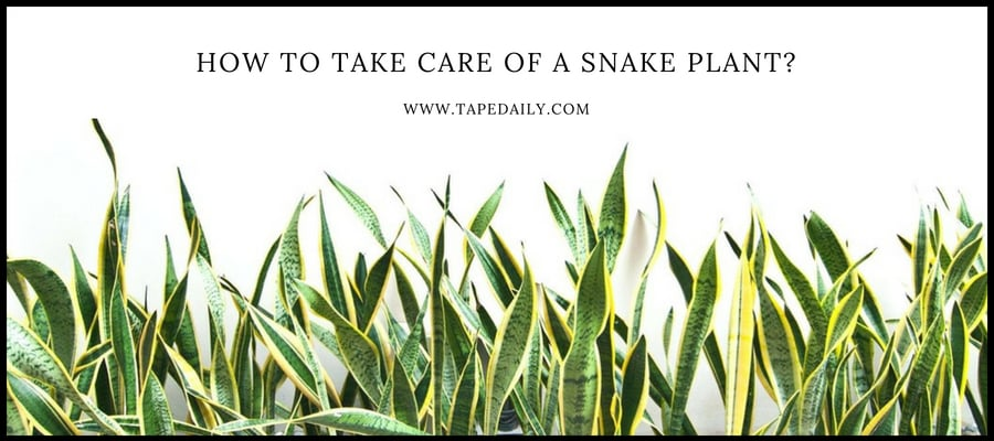 how-to-take-care-of-snake-plant