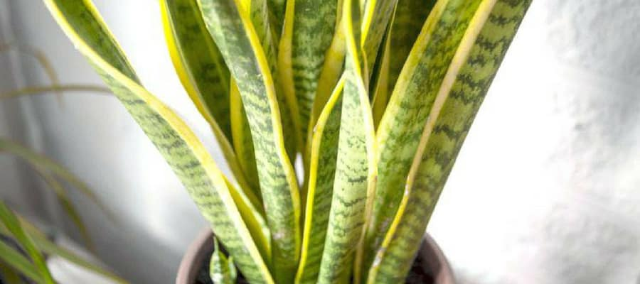 How To Take Care Of A Snake Plant?