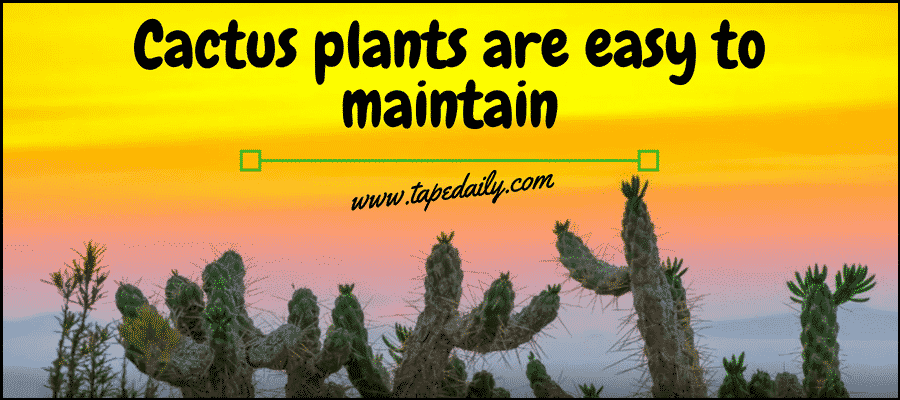 Cactus plants are easy to maintain