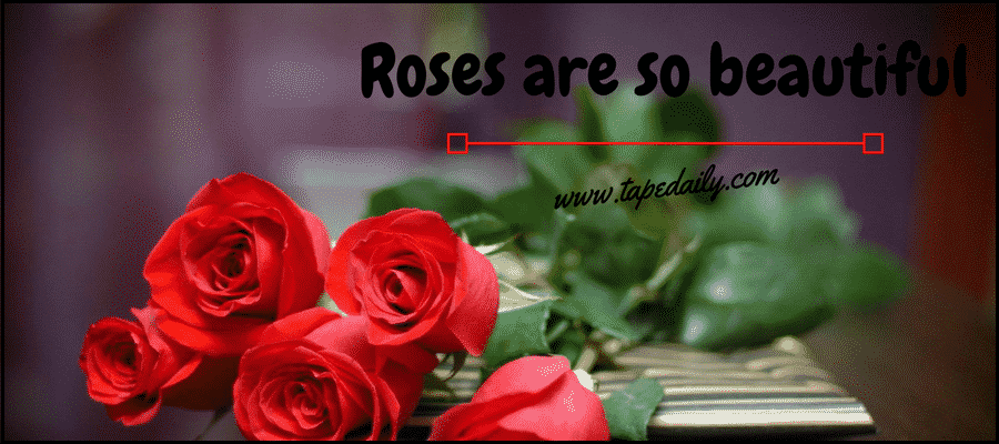 roses are so beautiful