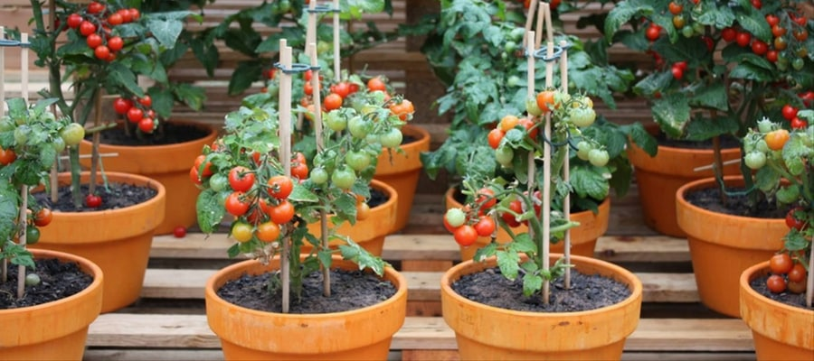 How To Grow Tomatoes In A Pot?