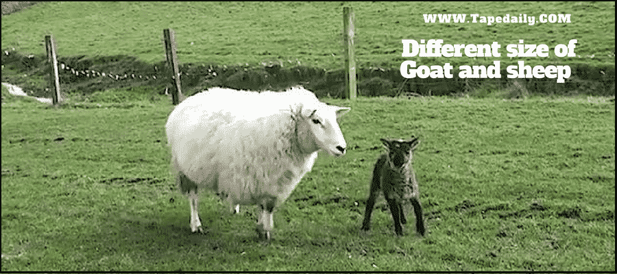 Different size of goat and sheep
