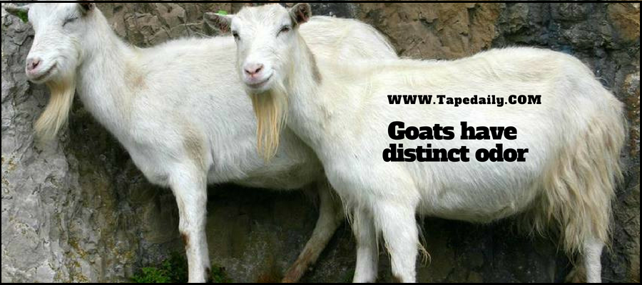 Goats have odor
