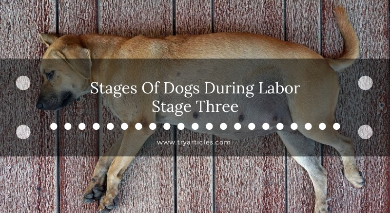 Stage Three Of Dogs During Labor