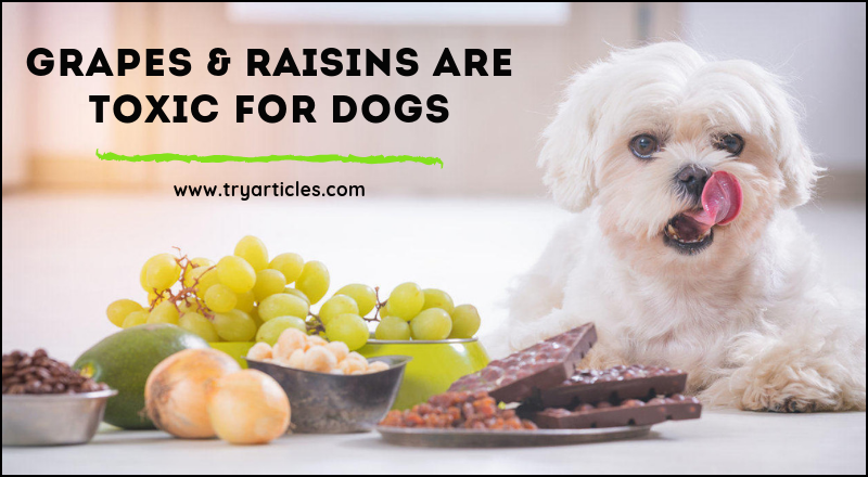Grapes & Raisins are Toxic For dogs