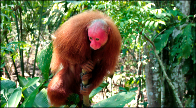 Red Bald-Headed Uakari