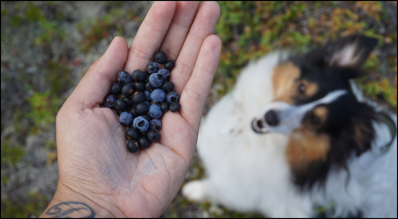 Dogs and blueberries