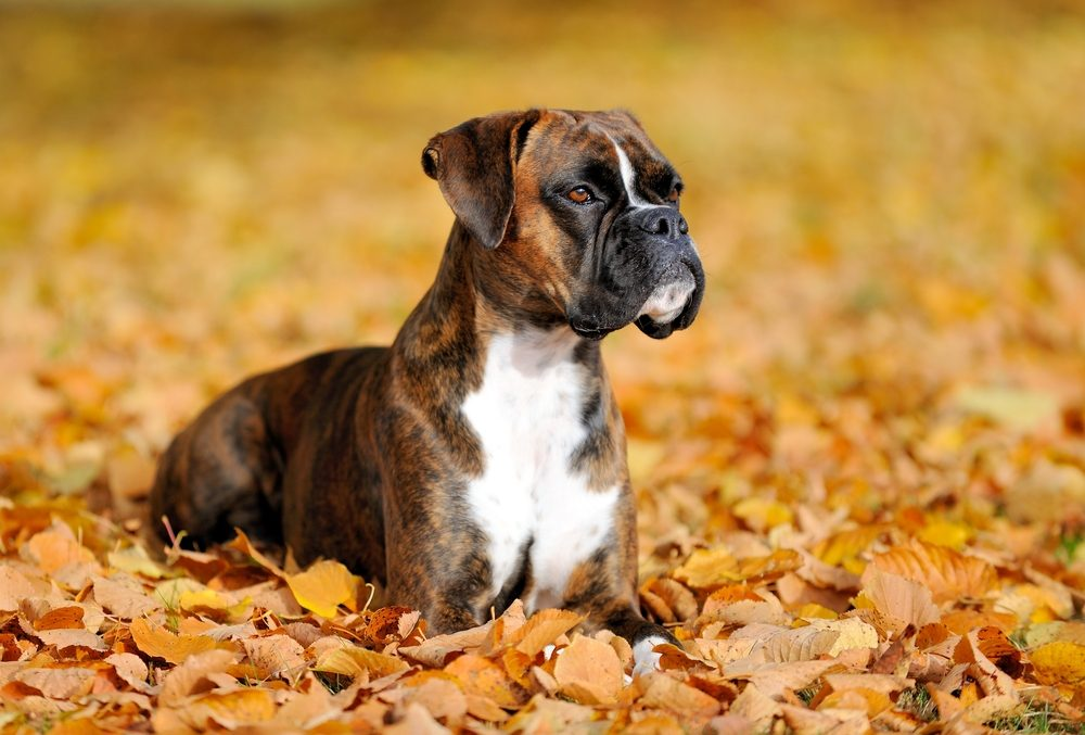 11 Most Dangerous Dog Breeds in The World ― Aggressive Dogs
