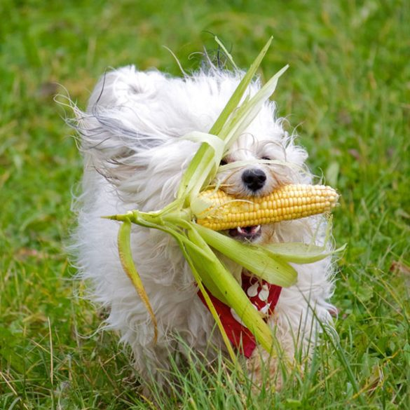 Can Dogs Eat Corns
