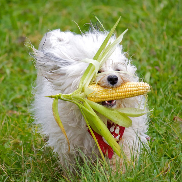 Can Dogs Eat Corn? Is It Safe & Healthy For Dogs? Health Benefits