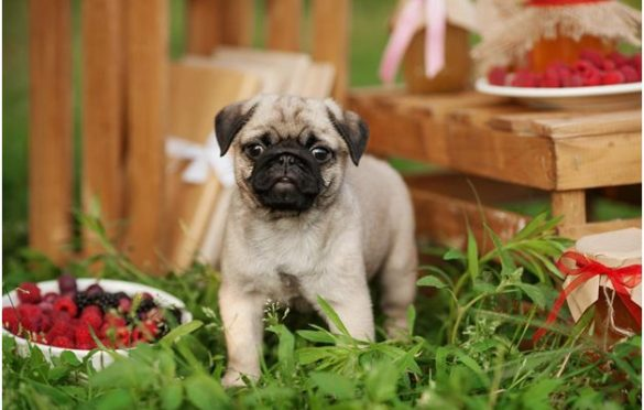 Can Dogs Eat Raspberries: