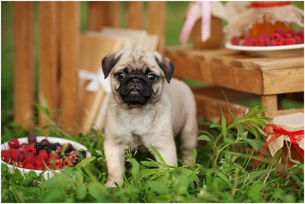 Can Dogs Eat Raspberries? Are Raspberries Good For Dogs?