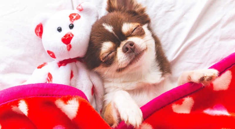 How Long Do Chihuahuas Live? Breed Information & Fun Facts