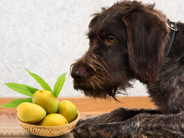 Can Dogs Eat Mango? Are Mangoes Bad For Dogs Health or Not?