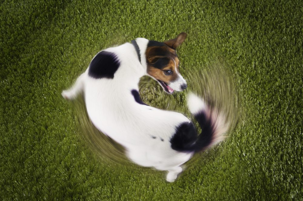 Why Do Dogs Chase Their Tails? Some Serious Issue OR Just To Have Fun