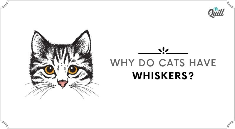 why do cats have whiskers