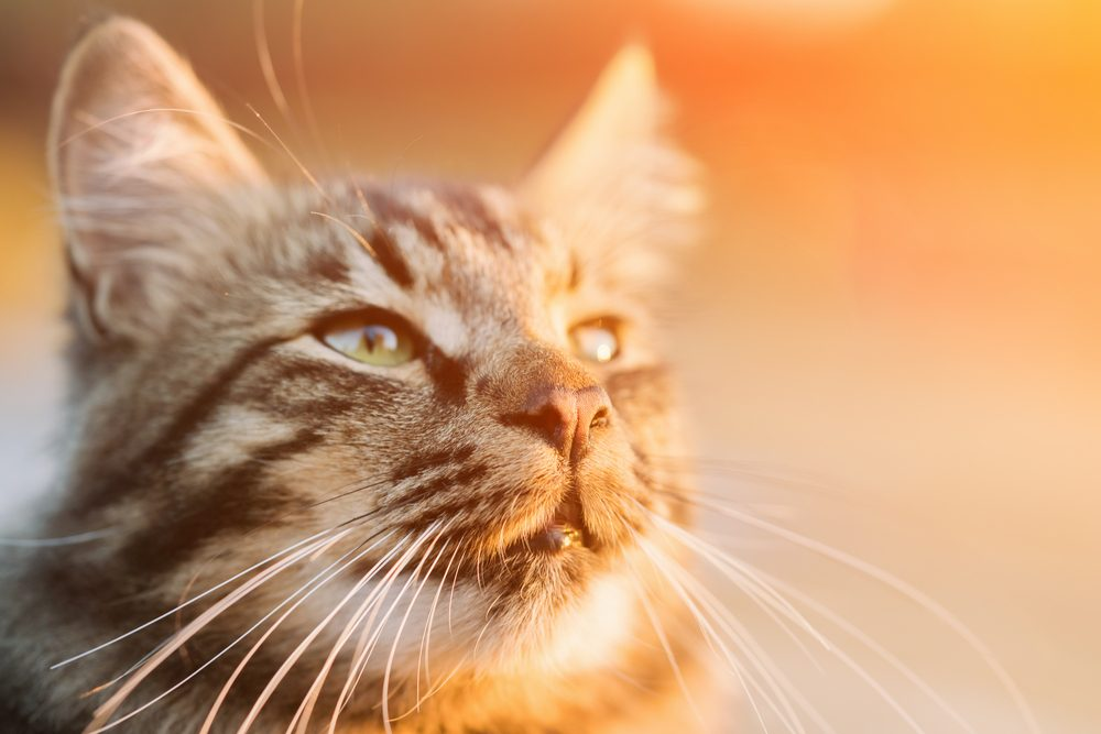 Why Do Cats Have Whiskers? How They Help Cats In Dark From Predators?