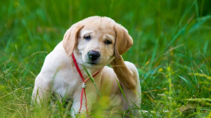 Dog Lice: Easy Tips To Get Rid Of Dog Lice? Bad Effects On Dogs