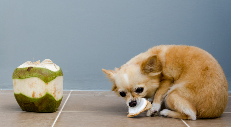 can dogs have coconut