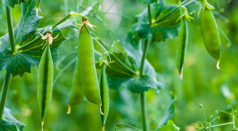 Can Dogs Eat Peas? Is it Healthy and Safe for Dogs? Veges For Dogs