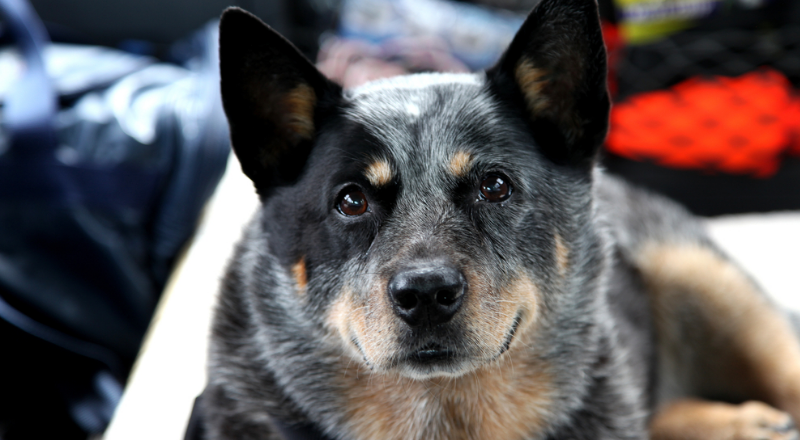 Australian cattle oldest dog