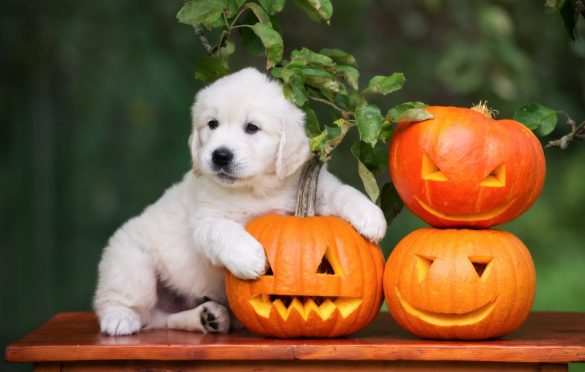 Pumpkin for Dogs