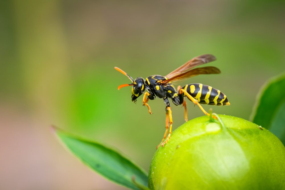 How To Keep Wasps Away? What Attract Them & Safety Precautions