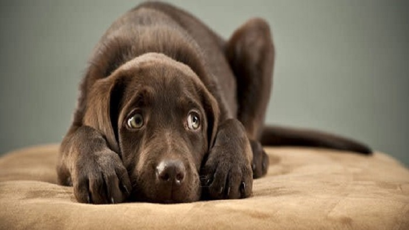 Storm Phobia - why do dogs hide their heads