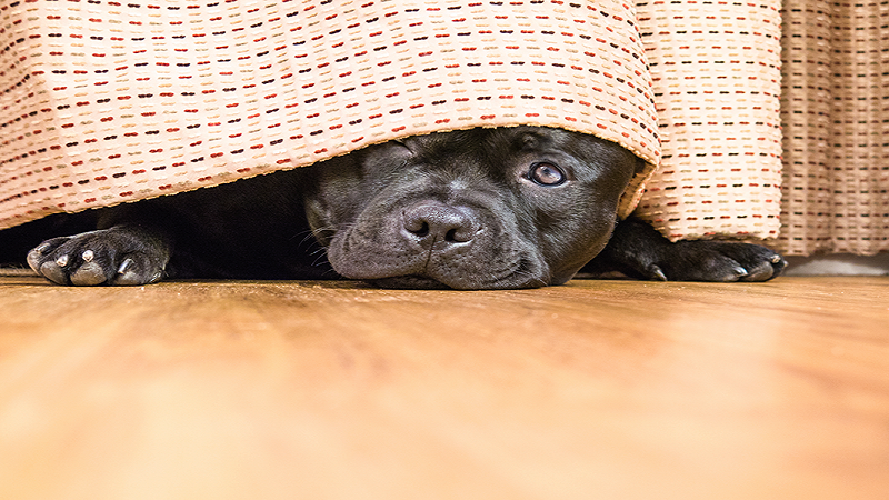 Why Do Dogs Hide Their Heads?