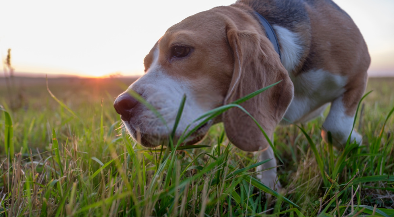 Why Do Dogs Eat Grass? – An Insight on Dog's Health