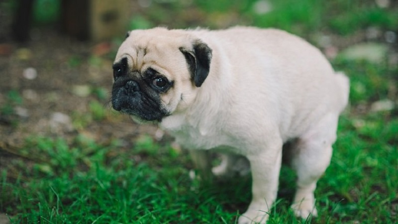 Potential Causes Of Constipation In Dogs