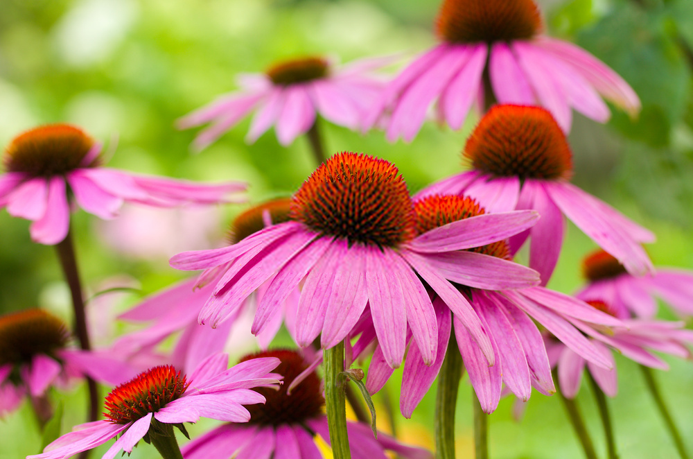 how to use echinacea