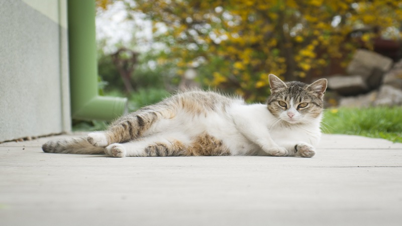 What are the Stages of Feline Pregnancy and How Long Are Cats Pregnant?