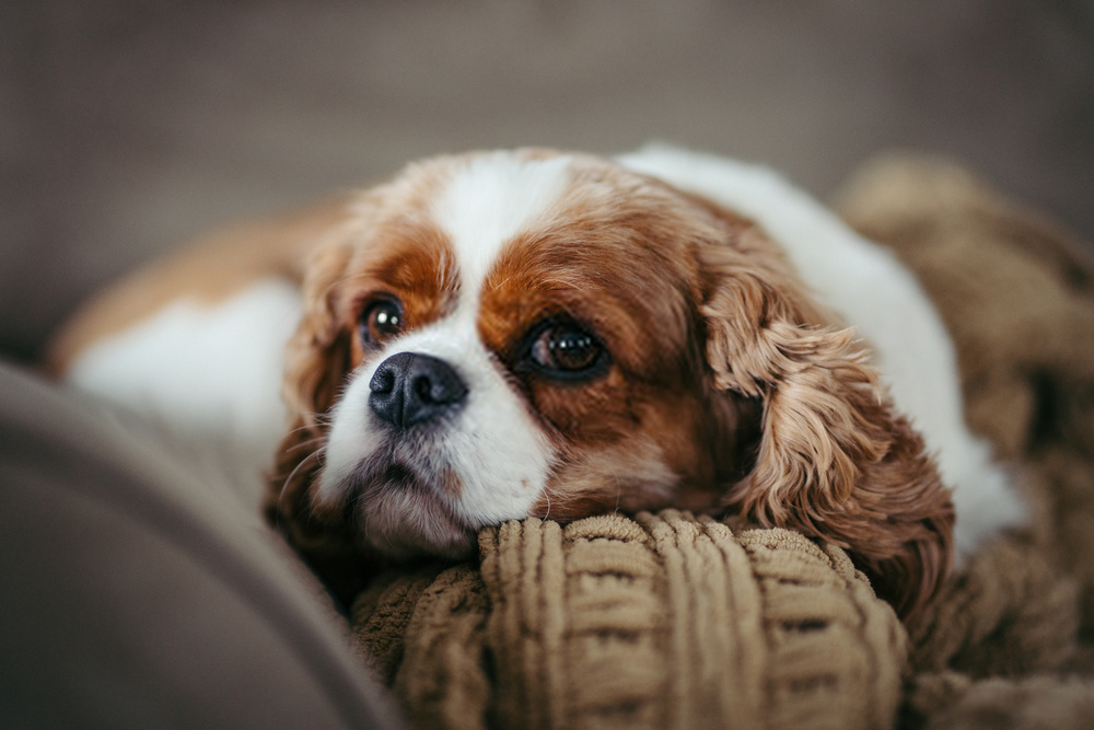cavalier comes in the quietest dogs breed