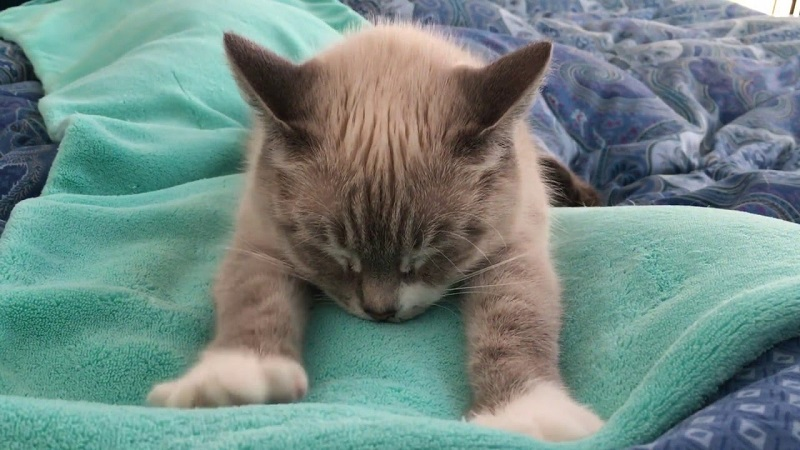 Why Do Cats Knead Blankets And Other Soft Objects
