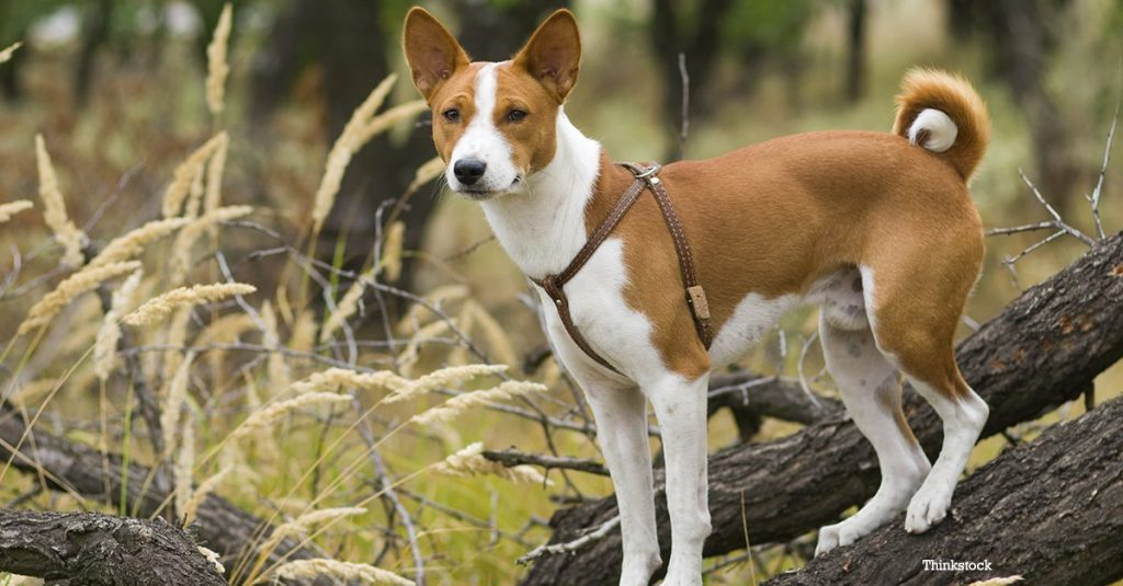 basenji is a small dog breed that doesn't shed or bark