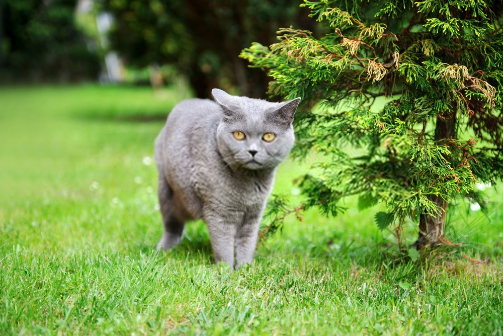 Everything You Need To Know About the British shorthair Cats