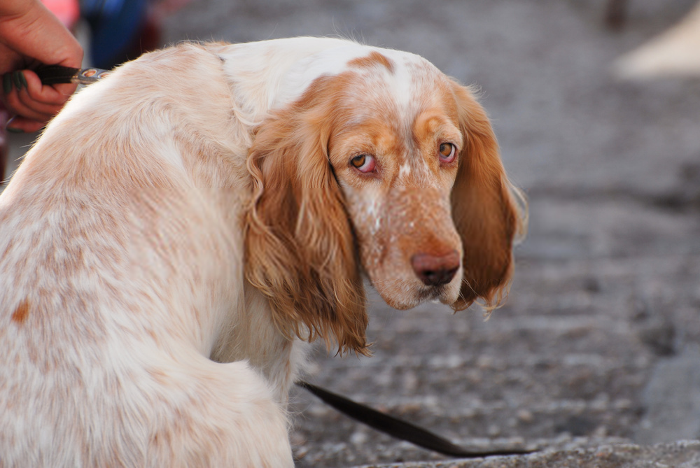 how to treat dog ear infection naturally