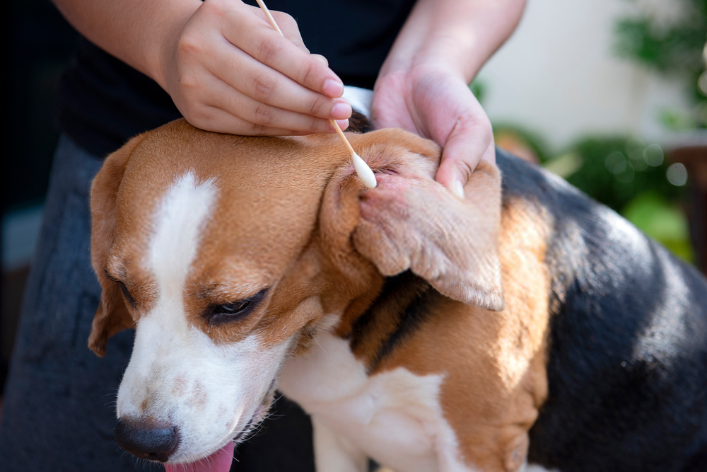 Clean dog ears to avoid infection